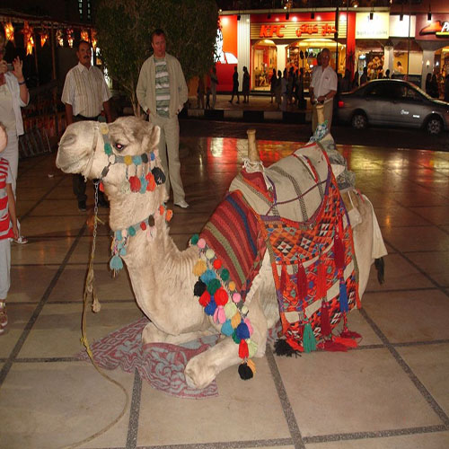 camels at naama bay sharm el sheikh