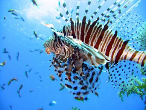 sharm el sheikh ras mohamed boat trip lion fish 10